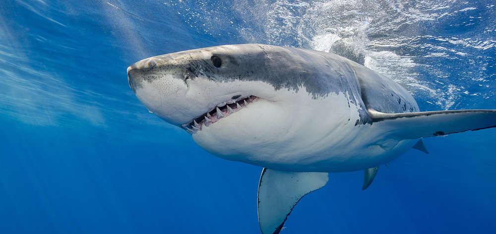 Grand Requin Blanc de Gansbaii