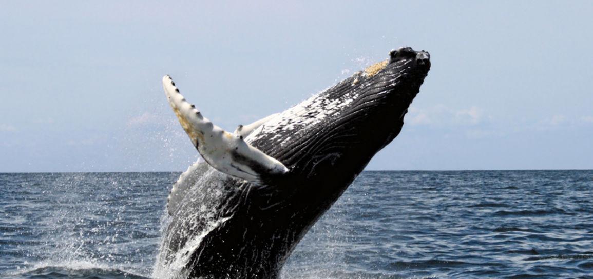 Baleine à bosse, Costa Rica